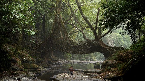Khasi Living Root Bridge, Mawlynnong Village, India. Image Courtesy of Amos Chapple.
