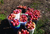 Apples gathered after a trip with gleaners around the Golan